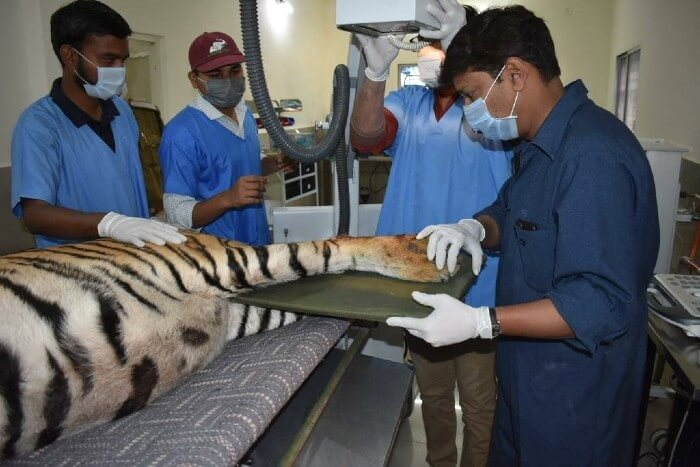 The tiger undergoing an X-ray to assess the condition of the fractures.
