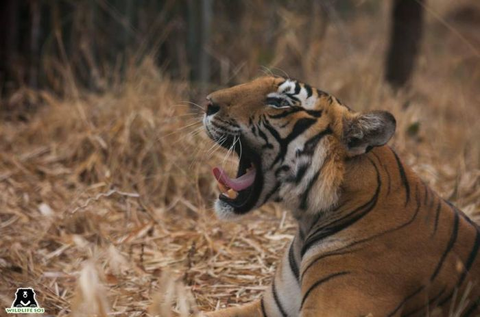 Tiger skins are highly coveted by occultists and their practices, making it one amongst the many reasons for tiger poaching.