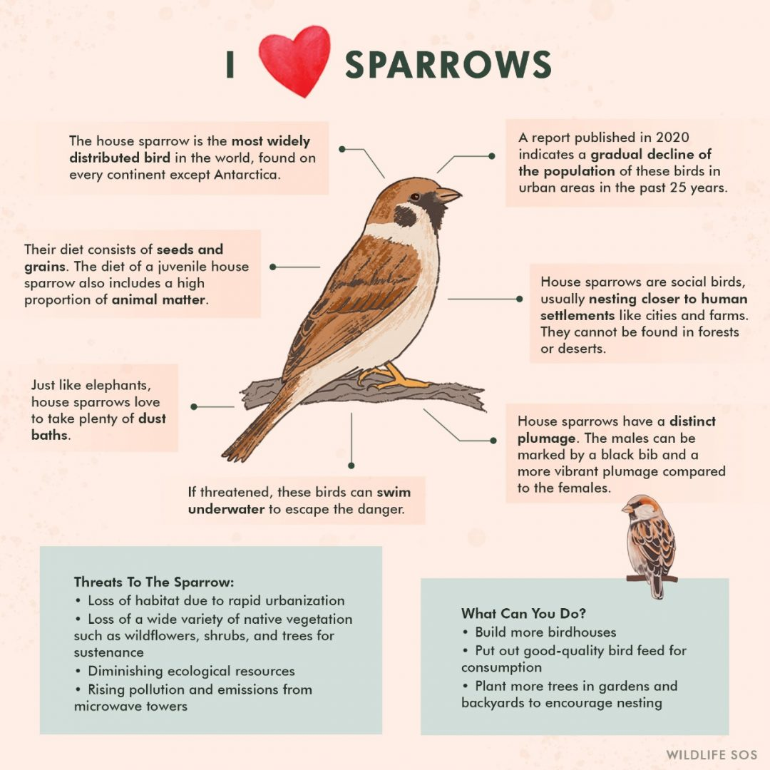 World Sparrow Day - An overview of the House Sparrow