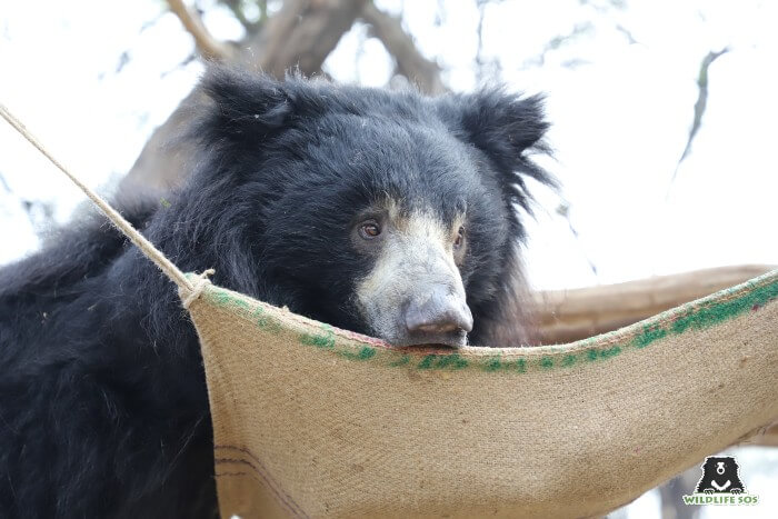 Bean would often be spotted resting on his hammock enrichment during the day.