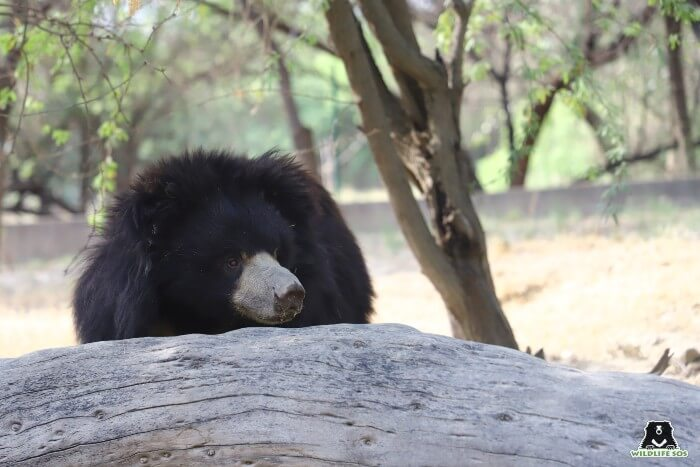 Resident sloth bear, Polly, right after a relaxing nap.