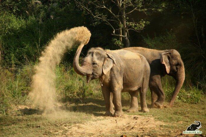 Daisy enjoying a dust bath on a sunny day with her dear friend, Jasmine.