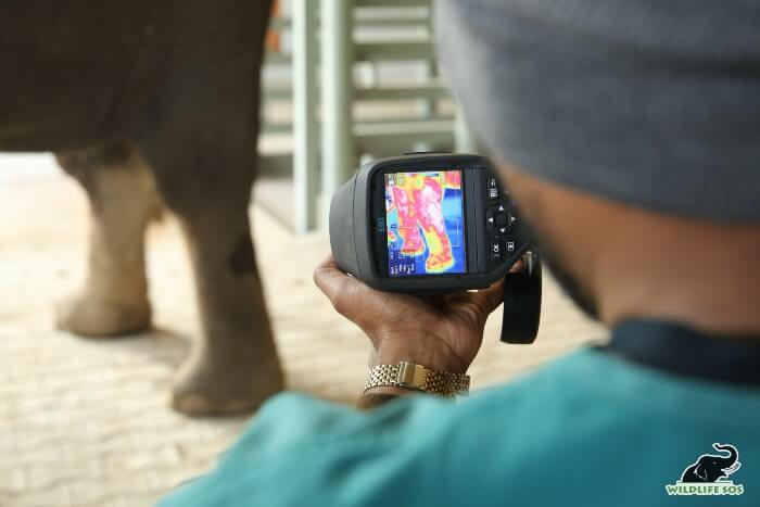 Radiography examination highlighting the poor joint condition of an elephant, conducted by Dr. Ilayaraja