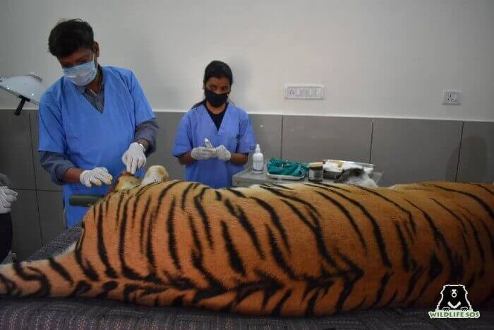 Dr. Pooja had also assisted Dr. Rajat in the treatment of a wild tiger in Bhopal, Madhya Pradesh.