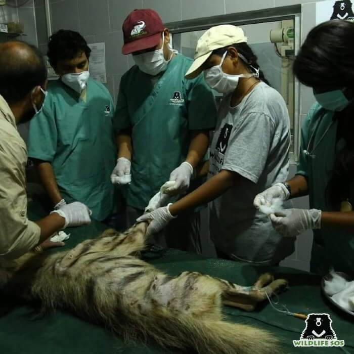 This particular incident of treating a hyena left an impact in Dr. Shivani's life.