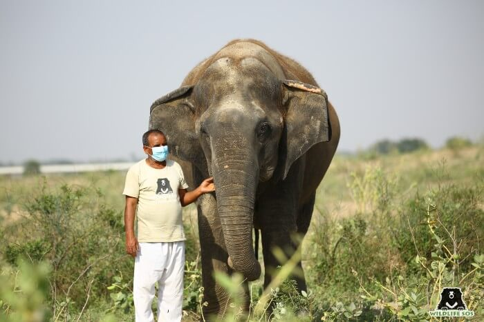 Suzy, the oldest elephant at ECCC, on a walk with her caregiver.