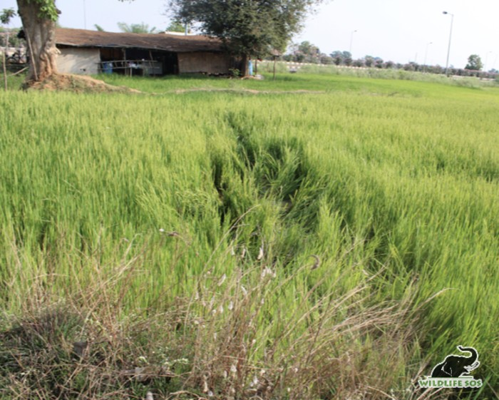 There is a crop compensation scheme established by the State Forest Department to address the farmer's loss