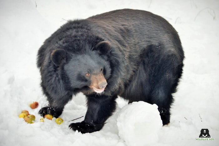 Our rescued black bear munching on some apples in the snowy winters of Kashmir.