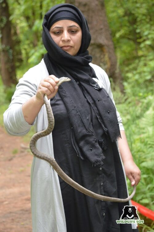 Wildlife SOS prioritises releasing of snakes back to their natural habitat, away from human habitats.