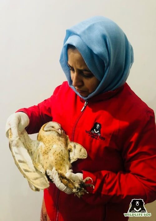 The dehydrated Barn Owl which was rescued by our team in Kashmir.