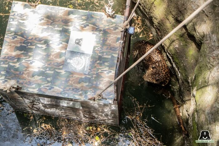 The leopard captured right before entering the trap cage to conclude a two-hour long rescue operation.