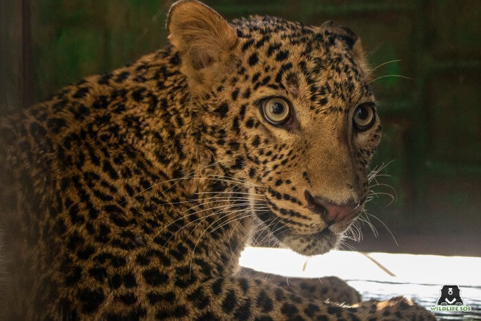 The leopard will be rendered the necessary medical treatment by the veterinary team at Wildlife SOS.