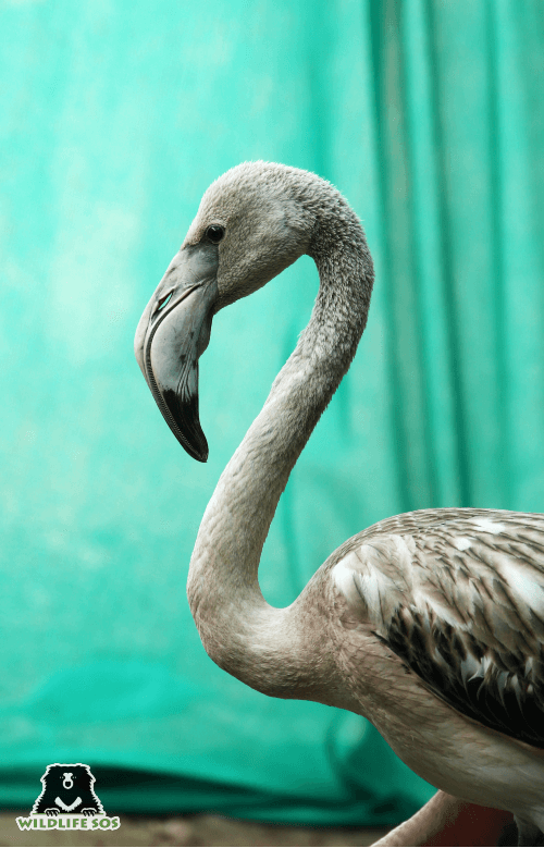 The flamingo received regular treatment by our veterinary team.