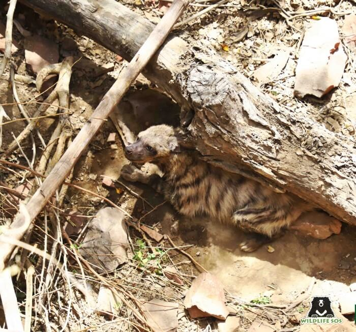 The hyena was a victim of a grave fall in an uncovered well.