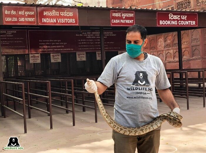 From rescuing pythons at the Taj Mahal to monitor lizards in toilets, our rescue teams have worked round-the-clock.