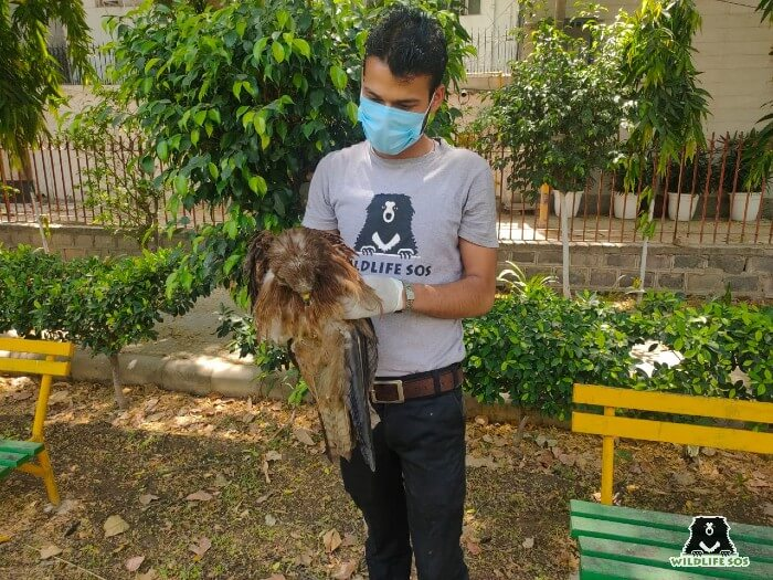 The Black Kite was dehydrated due to the soaring temperatures.