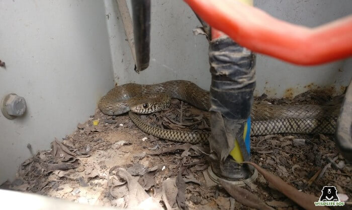 Banded racer snake is a non-venomous species of snake.