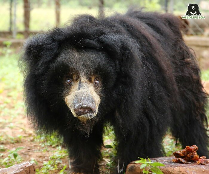Presenting Gulabo, the oldest living sloth bear in the country!