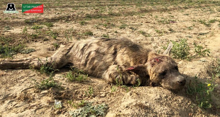 Heartbreaking news came from our team in Agra when they found a gravely injured striped hyena