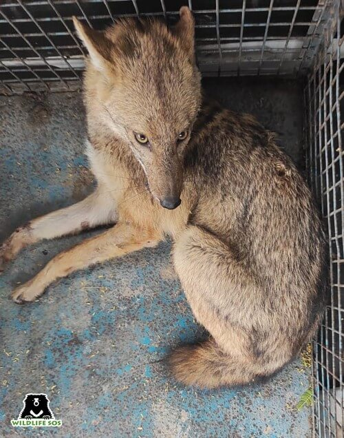 A Golden Jackal was also rescued from Agra after it was found in an injured condition.