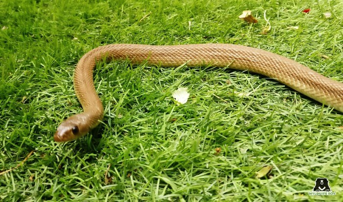 The banded racer snake is a non-venomous snake species.