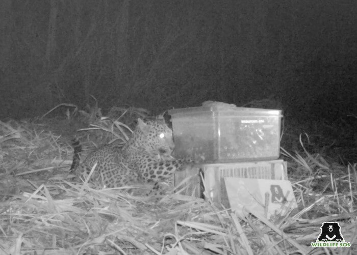 The mother leopard carefully tipping the safe-box over