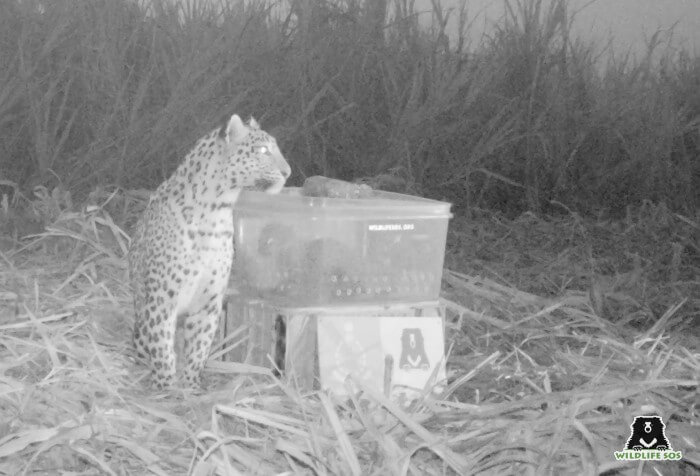 15 leopard cubs were reunited with their mothers this harvest season!