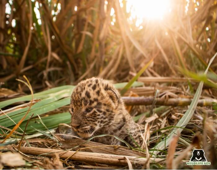 Leopard cubs as young as 15 days old, barely able to open their eyes, were rescued this season.