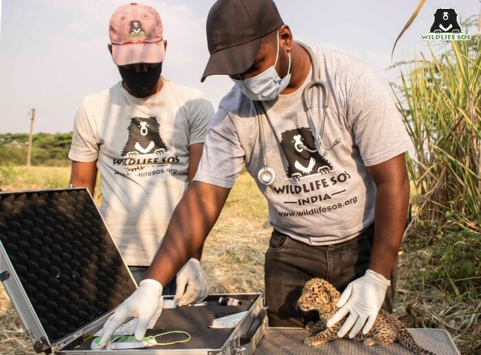 Our team conducting an on-site examination of the leopard cubs found in the fields.
