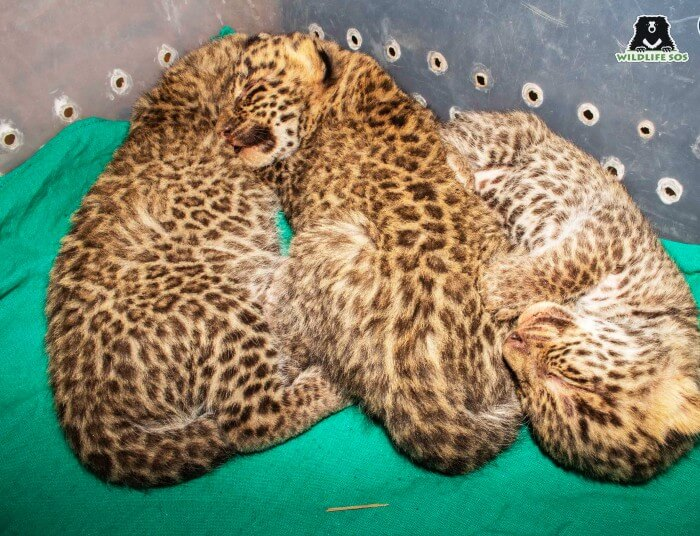 Three leopard cubs were found at the start of the harvest season.