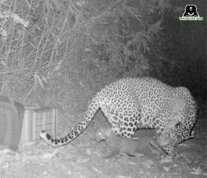 A mother leopard elated to find her cub safe and healthy!