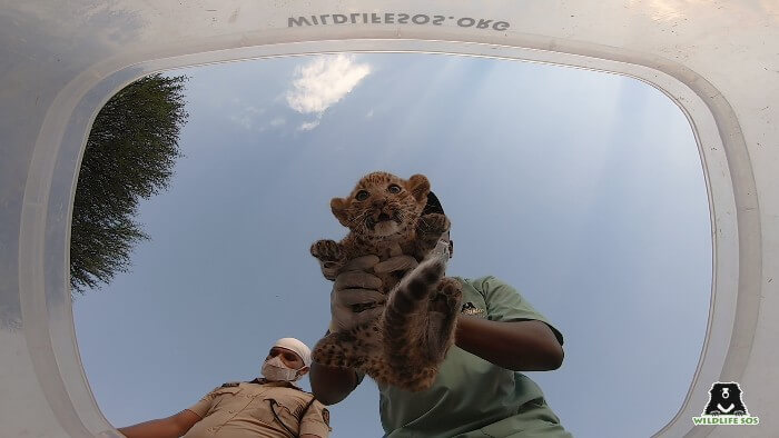 A rescued cub being placed inside the safe-box, ready to return to his mother!