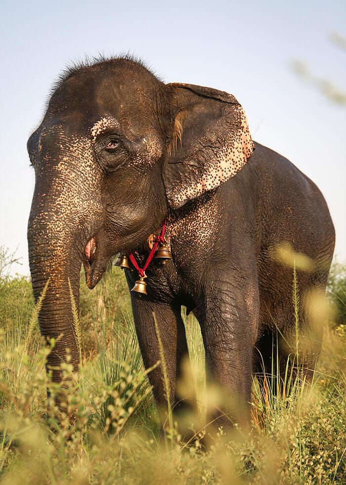 Rehabilitated elephant Nina at Wildlife SOS Elephant Hospital Campus