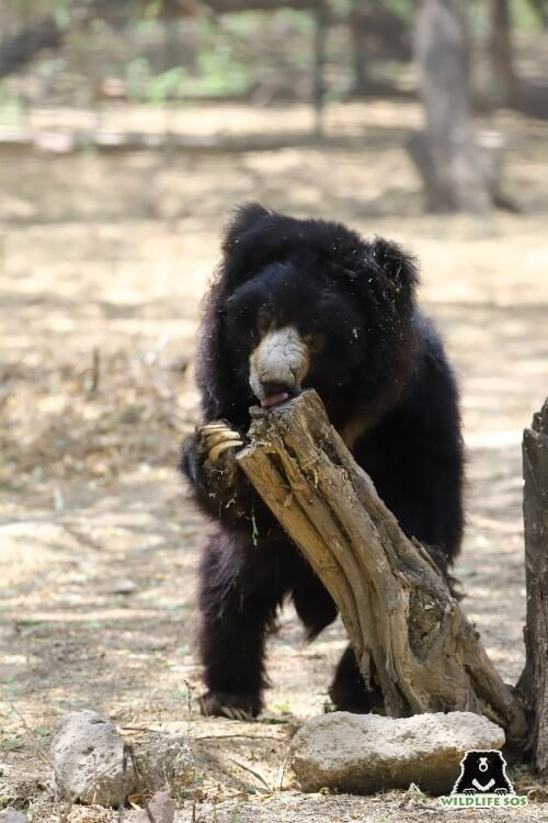 Lallu's arthritic limbs do not allow him to climb trees but he manages to reach out to the nearest branch