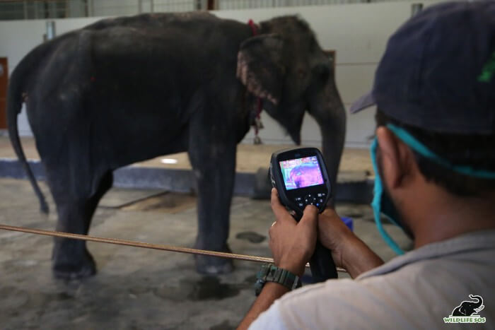 Nina's thermal imaging examination revealed the grave inflammation in her hind limbs.