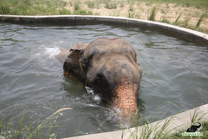 Raju takes long, relaxing dips in his pool on hot summer days, playing in the cool water.