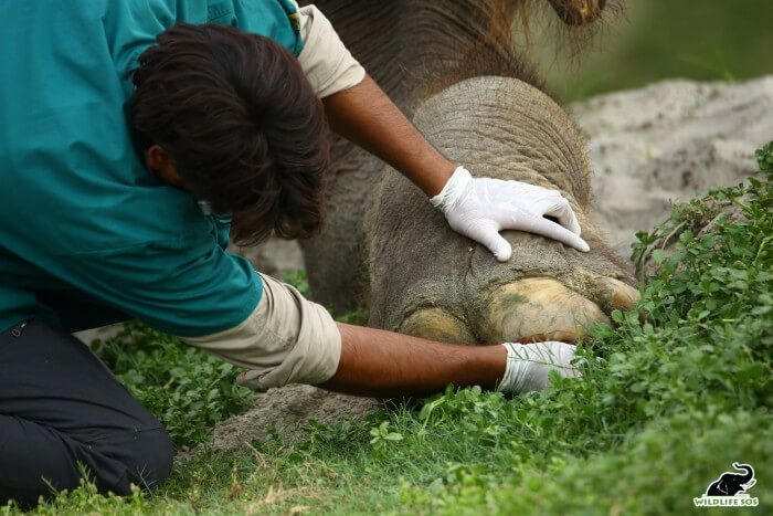 Our team goes the extra mile in trimming toenails, prioritising the elephants' comfort.
