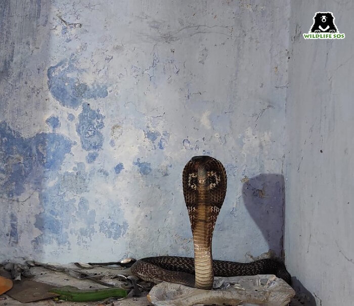 This is commonly observed in cobras when they feel threatened by their surroundings.