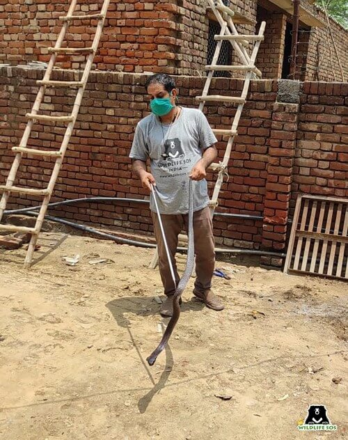 Our team recently rescued a highly venomous Cobra from a residence in Agra