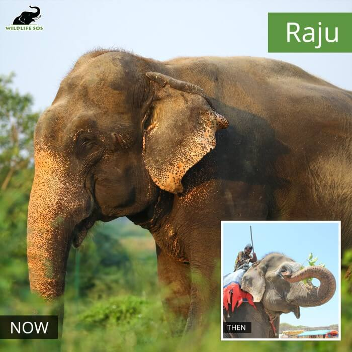 Forced to walk on roads, today, Raju thrives in the lush green surroundings of the Centre.