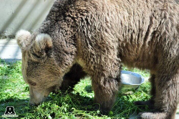 One of the rescued brown bears foraging on a hot summer day.