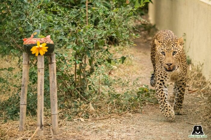 George, one of the youngest leopards under our care, taking a stroll in his field.