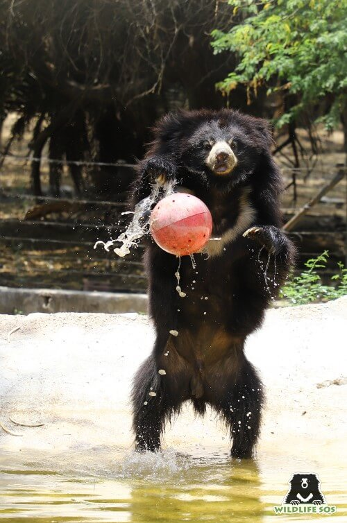 Elvis splashing around in his pool playing with enrichment ball.