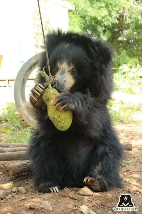 Jackfruits are a favourite of our resident sloth bears at BBRC.
