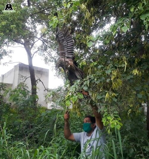 Wildlife SOS Team rescues Black Kite caught in Manjha
