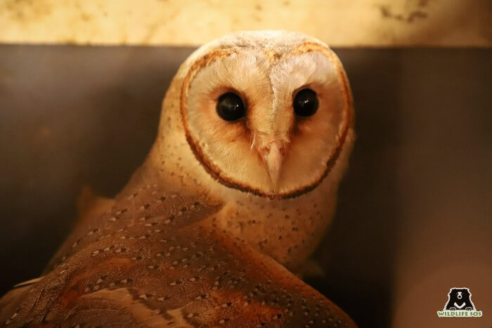 Barn Owl rescued by Wildlife SOS after manjha injury