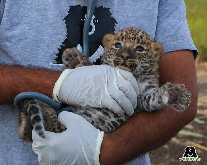A leopard cub with our leopard care staff, wearing protective gear.