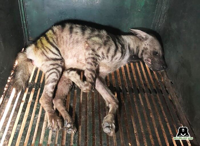 A critically injured hyena was rescued by our team in Agra.