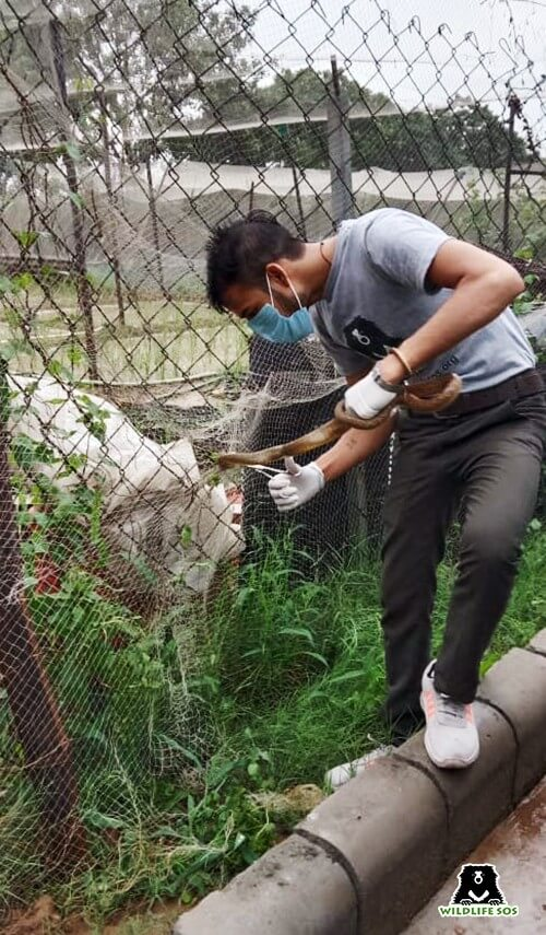 Our rescuer carefully cutting the netting to free the snake from the pain and discomfort.