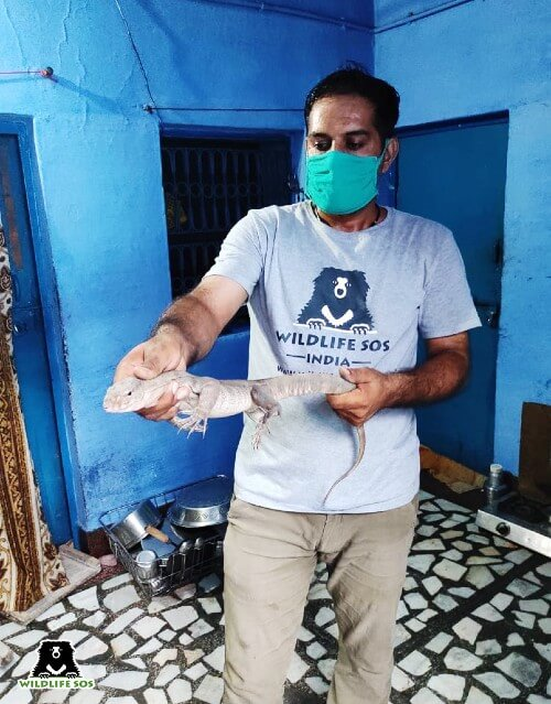 A monitor lizard was rescued from a kitchen in Agra.